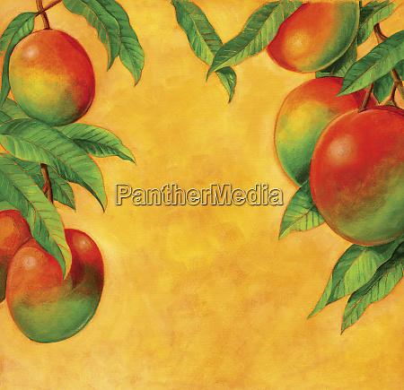 reife mangos wachsen auf dem ast