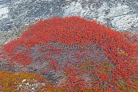 tundra pflanzen in herbstfarben in der