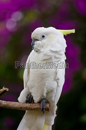 ein weisser kakadoo vogel