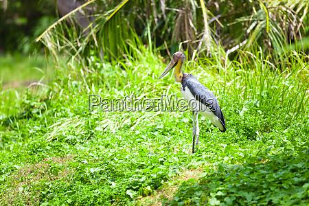 plegadis falcinellus bird