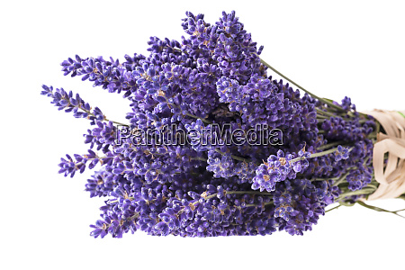bouguet of violet lavendula flowers isolated