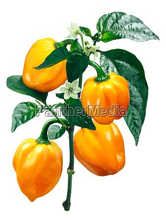 numex suave orange habanero chile wege