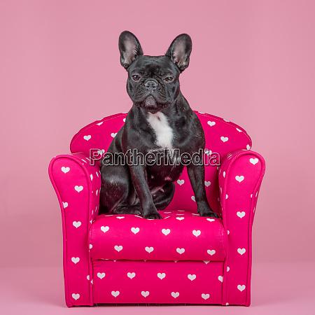 niedliche franzoesische bulldogge auf einem rosa