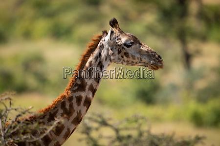 close up of masai giraffe head