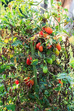 bio tomaten non gvo