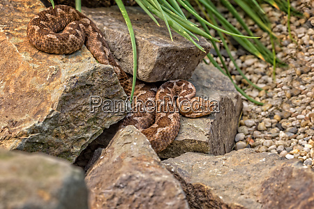 gehoernte viper