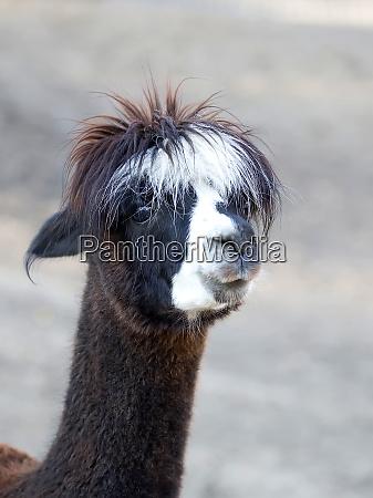 alpaca a portrait