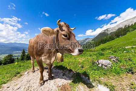 braune kuh in berglandschaft