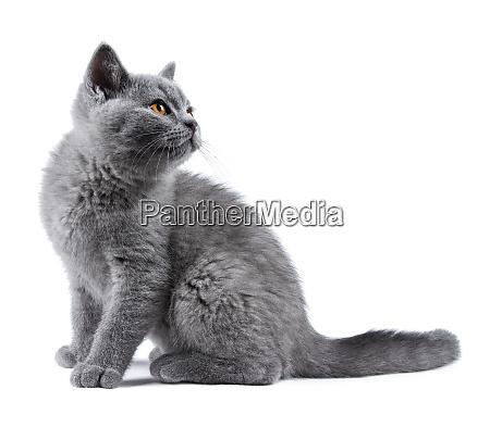 blaues kitten