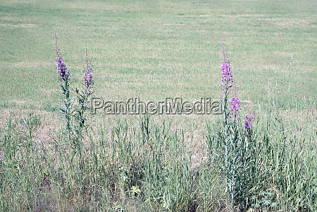idyllisch bluehende lila wildblumen mit sonnenschein
