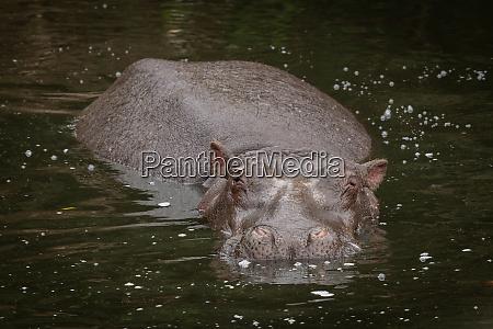 hippo mit blick auf kamera in