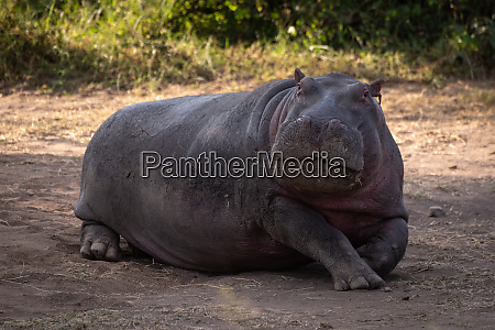 hippo liegt im dreck und schaut