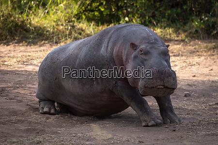 hippo sitzt im dreck und schaut