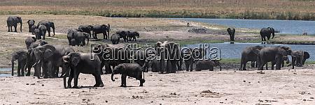 elefantengruppe an der chobe river front