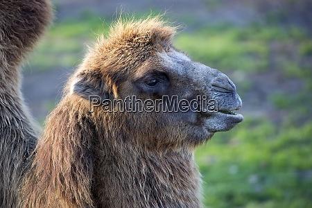 camel a portrait