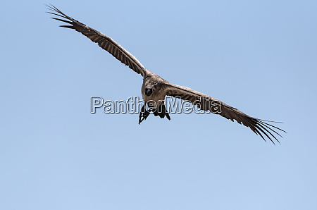a white backed vulture in flight