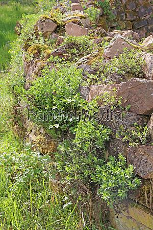 vegetation einer trockenmauer im OEkogarten