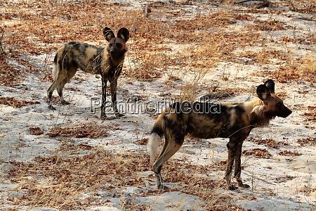 afrikanische wildhunde in der savanne simbabwes