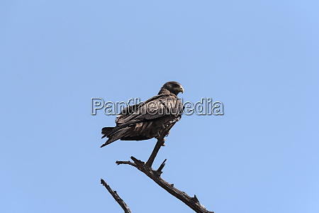 a tawny eagle on a branch