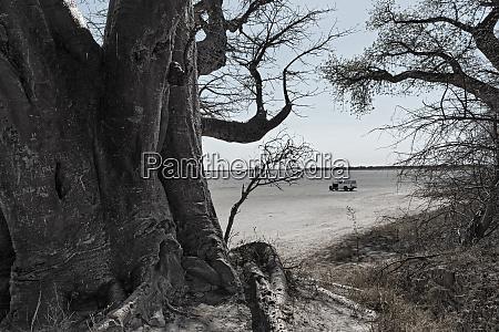 baines baobab trees nxai pan national