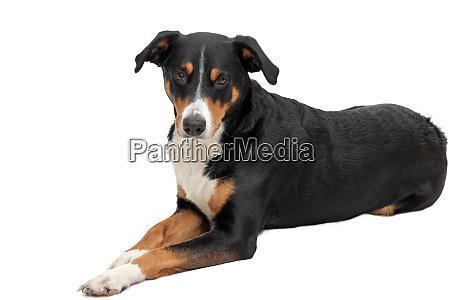 appenzeller berghund auf weissem hintergrund