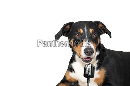 appenzeller berghund isoliert auf weissem hintergrund