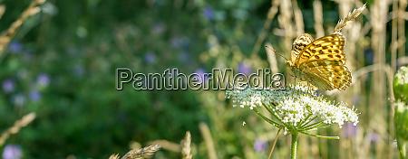 butterfly on a white meadow flower