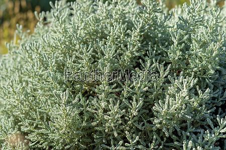 olive herb shrub