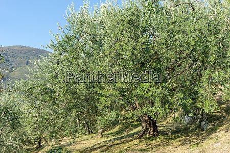 alte, olivenbäume, in, italien, - 26139940