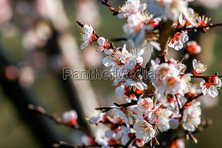 aprikosenbaum blueht im fruehling