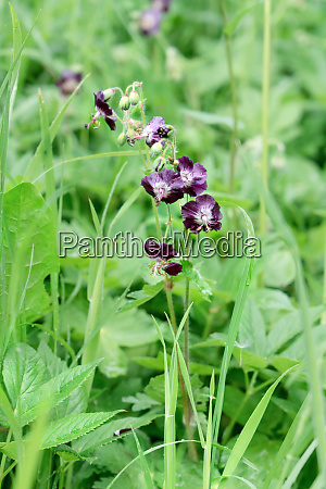 wild violet columbine