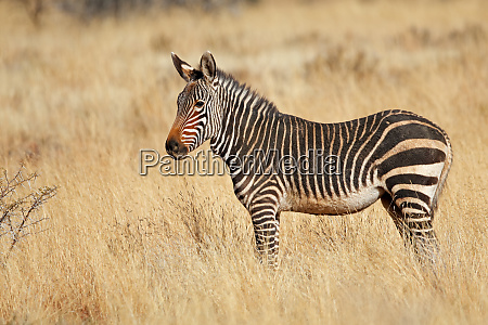 cape mountain zebra in natural habitat