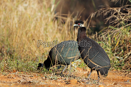 crested guineafowls south africa
