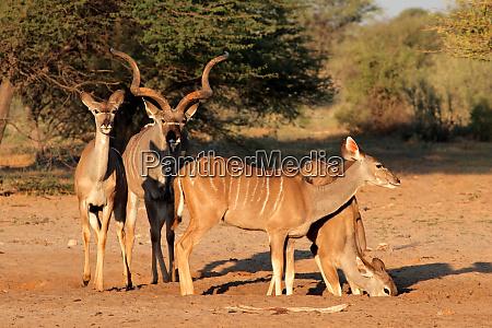 kudu antelopes in natural habitat