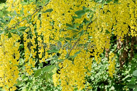 yellow flowering laburnum