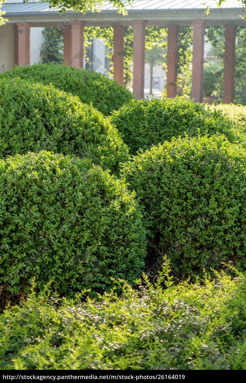 buchsbaumkugeln, in, form, geschnitten - 26164019