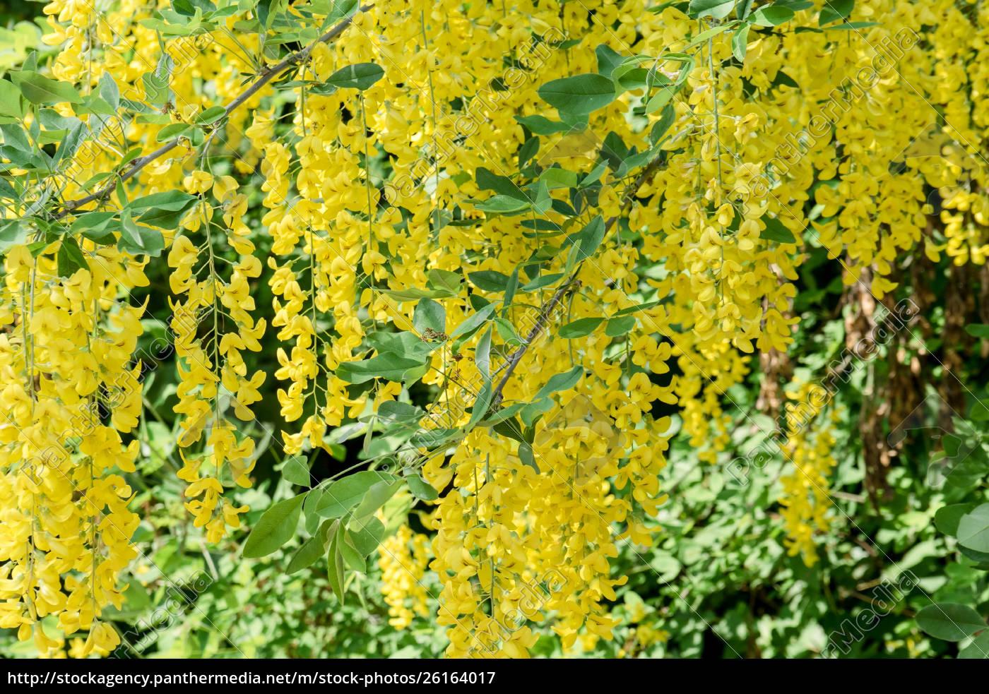 yellow, flowering, laburnum - 26164017