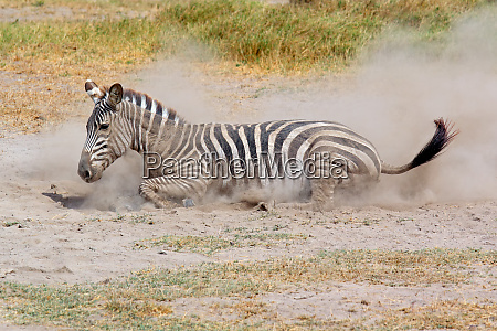 a ebenen zebra equus burchelli in