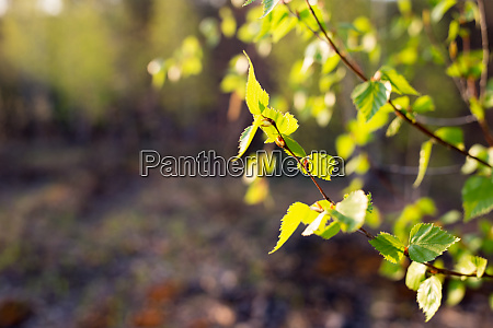 first spring leaves on blurred background