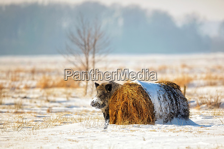 wild boar in winter scenery