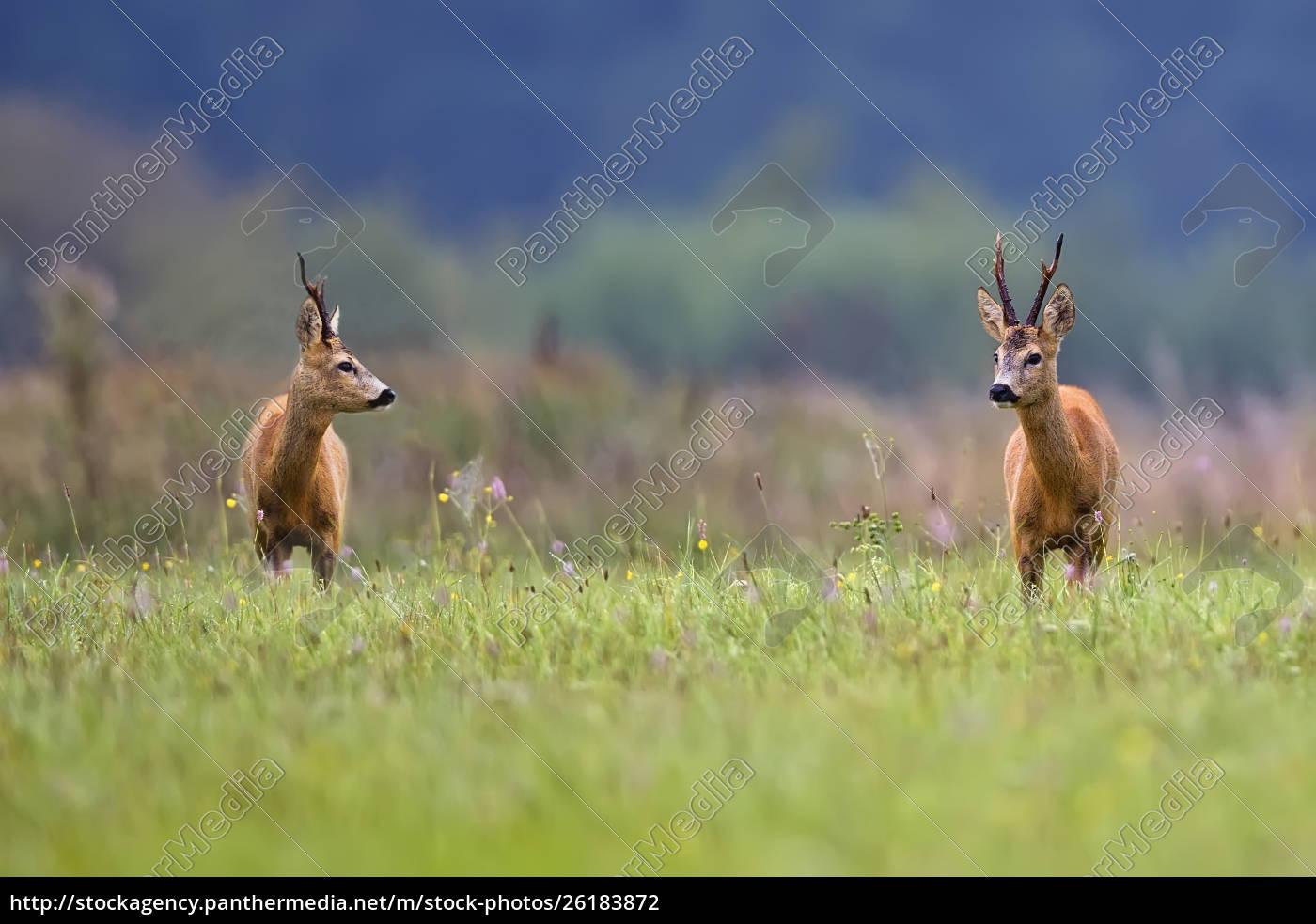 buck-hirsche, in, einer, lichtung, - 26183872