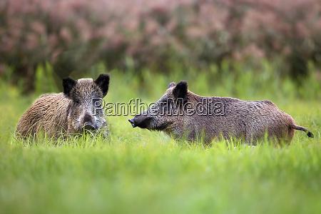 wildschweine, in, einer, lichtung, - 26183871