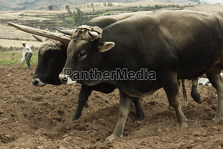 pair of oxen on fresh plowed