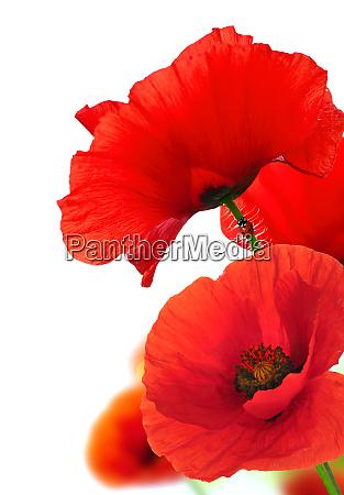 rote mohnblumen ueber weiss floral hintergrund