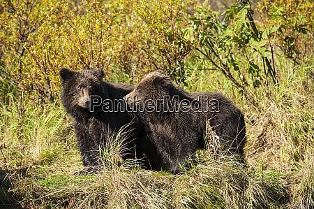 kodiak bear cubs ursus arctos middendorffi