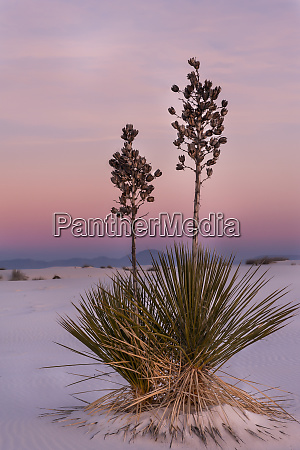 yucca pflanze bei sonnenuntergang white sands