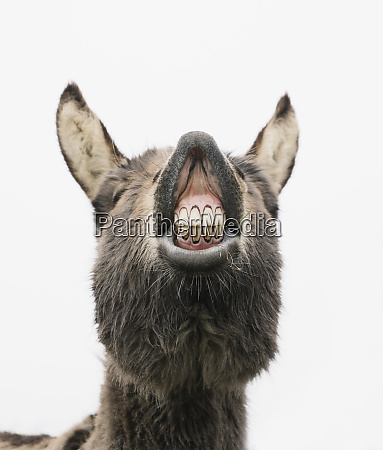 playful donkey showing teeth