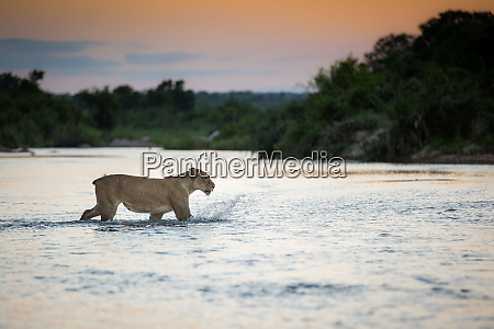eine loewin panthera leo ohne schwanz