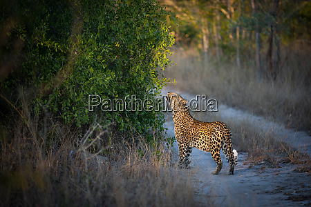 the side profile of a leopard