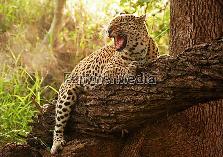 ein leopard panthera pardus umarmt einen